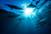 水中から見上げる空とスピナードルフィンの群れ 10241002683| 写真素材・ストックフォト・画像・イラスト素材|アマナイメージズ
