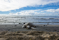 ハワイ島の海岸の亀 10241002700| 写真素材・ストックフォト・画像・イラスト素材|アマナイメージズ
