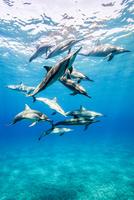 ハワイ島のスピナードルフィン 10241002751| 写真素材・ストックフォト・画像・イラスト素材|アマナイメージズ