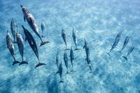 ハワイ島のスピナードルフィンの群れ 10241002754| 写真素材・ストックフォト・画像・イラスト素材|アマナイメージズ