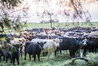 ハワイ島の牧場の牛