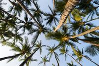 椰子の木と青空 10241002785  写真素材・ストックフォト・画像・イラスト素材 アマナイメージズ
