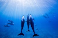 ハワイ島のスピナードルフィンの群れ 10241002815| 写真素材・ストックフォト・画像・イラスト素材|アマナイメージズ
