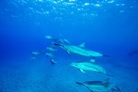 ハワイ島のスピナードルフィンの群れ 10241002822| 写真素材・ストックフォト・画像・イラスト素材|アマナイメージズ