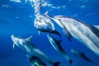 ハワイ島のスピナードルフィンの群れ 10241002825| 写真素材・ストックフォト・画像・イラスト素材|アマナイメージズ