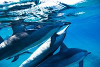 ハワイ島のスピナードルフィンの群れ 10241002832| 写真素材・ストックフォト・画像・イラスト素材|アマナイメージズ