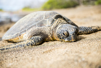 ハワイ島、海岸で甲羅干しする亀 10241002853| 写真素材・ストックフォト・画像・イラスト素材|アマナイメージズ