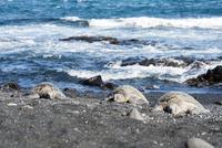 ハワイ島のプナルウ黒砂海岸の3頭の亀