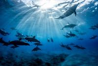 ハワイ島のスピナードルフィンの群れ 10241002888| 写真素材・ストックフォト・画像・イラスト素材|アマナイメージズ