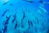ハワイ島のスピナードルフィンの群れ 10241002889| 写真素材・ストックフォト・画像・イラスト素材|アマナイメージズ