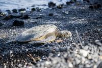 ハワイ島のプナルウ黒砂海岸の亀 10241002895| 写真素材・ストックフォト・画像・イラスト素材|アマナイメージズ