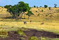 マサイマラのサバンナとシマウマ 10243000292  写真素材・ストックフォト・画像・イラスト素材 アマナイメージズ