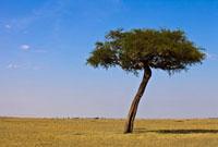 マサイマラのサバンナと一本の木と青空 10243000296| 写真素材・ストックフォト・画像・イラスト素材|アマナイメージズ