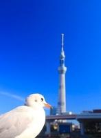 ユリカモメと東京スカイツリー