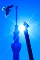 ユリカモメと東京スカイツリーと太陽の光芒 10247001933| 写真素材・ストックフォト・画像・イラスト素材|アマナイメージズ