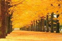 紅葉の銀杏並木と並木道