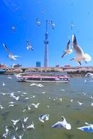 東京スカイツリーと隅田川と屋形船と飛び立つユリカモメの群れ