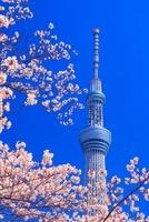 ソメイヨシノと東京スカイツリー 10247004074| 写真素材・ストックフォト・画像・イラスト素材|アマナイメージズ