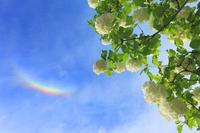 環天頂アークとテマリカンボクの花
