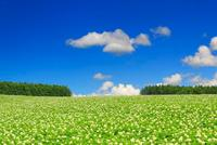 花咲くジャガイモ畑とカラマツ木立の丘