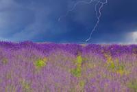 ラベンダーの花畑と飛行機に落ちる雷
