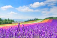 ラベンダーの花畑 10247005888| 写真素材・ストックフォト・画像・イラスト素材|アマナイメージズ