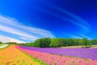 ラベンダーと小町草とカリフォルニアポピーなどの花畑