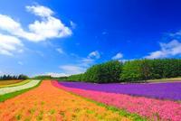 ラベンダーと小町草とカリフォルニアポピーなどの花畑 10247005928| 写真素材・ストックフォト・画像・イラスト素材|アマナイメージズ