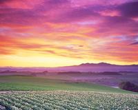 花咲くジャガイモ畑と大雪山と朝焼け