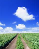 花咲くジャガイモ畑とトラクター道