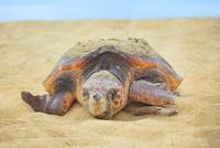 砂浜に上がったウミガメ