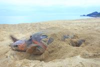 産卵後、砂をかけるウミガメ