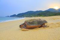 産卵後、海に帰るウミガメと朝日
