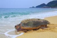 産卵後、海に帰るウミガメ