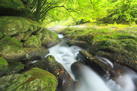 新緑の白谷川 10247008893| 写真素材・ストックフォト・画像・イラスト素材|アマナイメージズ