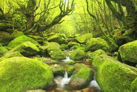 苔むす新緑の白谷川の枝沢