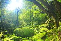 苔むすもののけ姫の森と朝の木もれ日