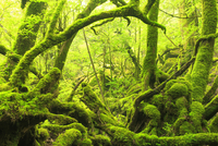 苔むすもののけ姫の森 10247008913| 写真素材・ストックフォト・画像・イラスト素材|アマナイメージズ