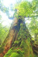 七本杉 10247008930| 写真素材・ストックフォト・画像・イラスト素材|アマナイメージズ