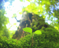 七本杉と苔に生えた芽と木もれ日