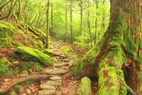 屋久杉の巨木と登山道