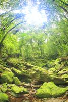 苔むす新緑の原生林 10247008946| 写真素材・ストックフォト・画像・イラスト素材|アマナイメージズ