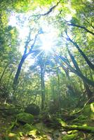 苔むす新緑の原生林と木もれ日