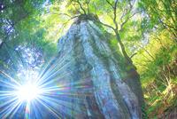 紀元杉と朝の木もれ日 10247008975| 写真素材・ストックフォト・画像・イラスト素材|アマナイメージズ
