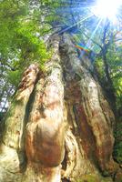 紀元杉と木もれ日 10247008978| 写真素材・ストックフォト・画像・イラスト素材|アマナイメージズ