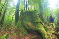 巨木の株と朝霧 10247008985| 写真素材・ストックフォト・画像・イラスト素材|アマナイメージズ