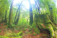 巨木の株と朝霧