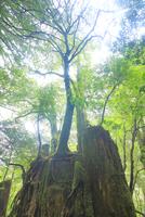 切株更新と新緑の原生林