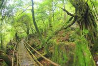 新緑の原生林と登山道 10247009015| 写真素材・ストックフォト・画像・イラスト素材|アマナイメージズ
