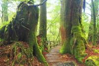 屋久杉の原生林と登山道 10247009019| 写真素材・ストックフォト・画像・イラスト素材|アマナイメージズ